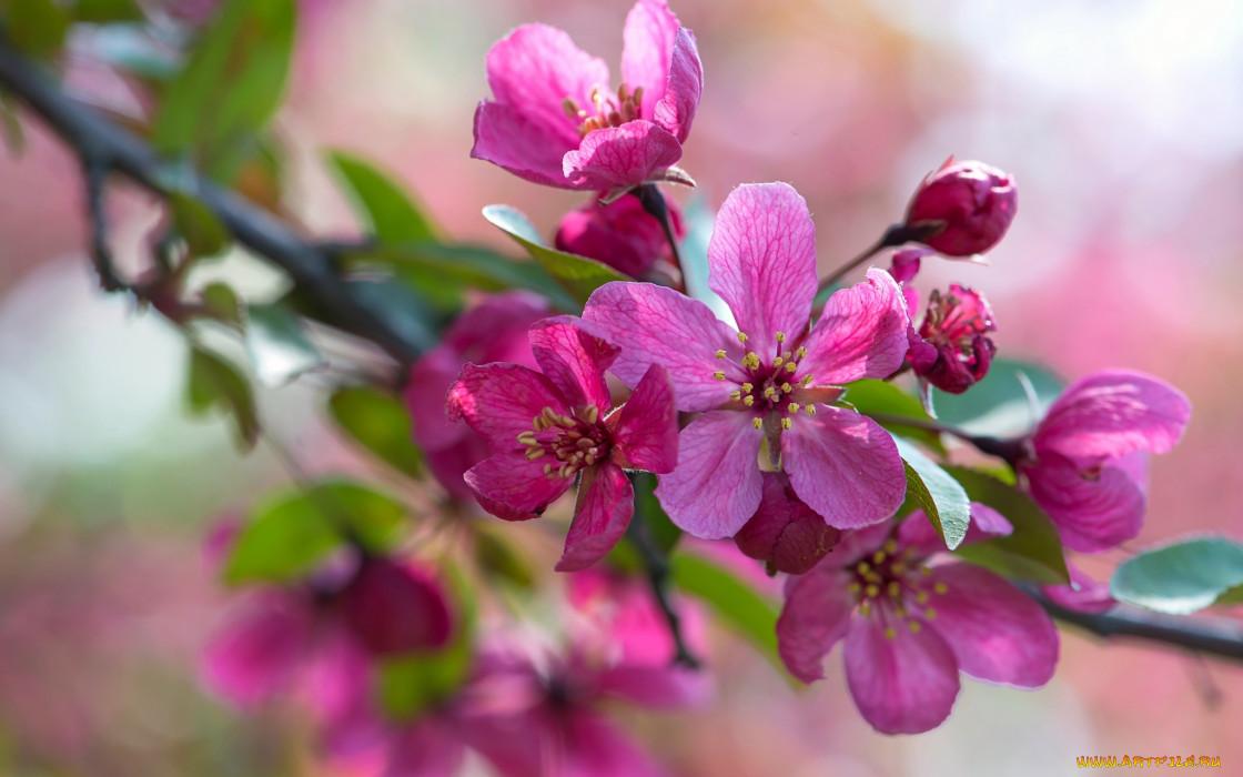 цветы, цветущие деревья ,  кустарники, макро, розовый, ветка, яблоня